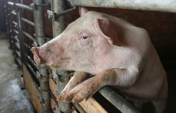 РФ ввела запрет напоставку свинины изРумынии